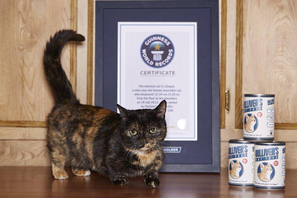 lilieput la gattina più piccola del mondo