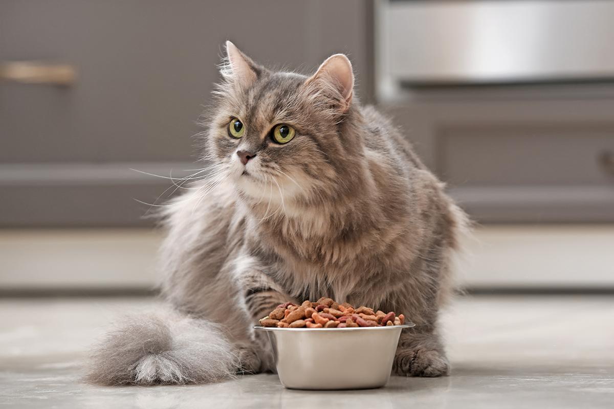 bel gatto con la ciotola davanti