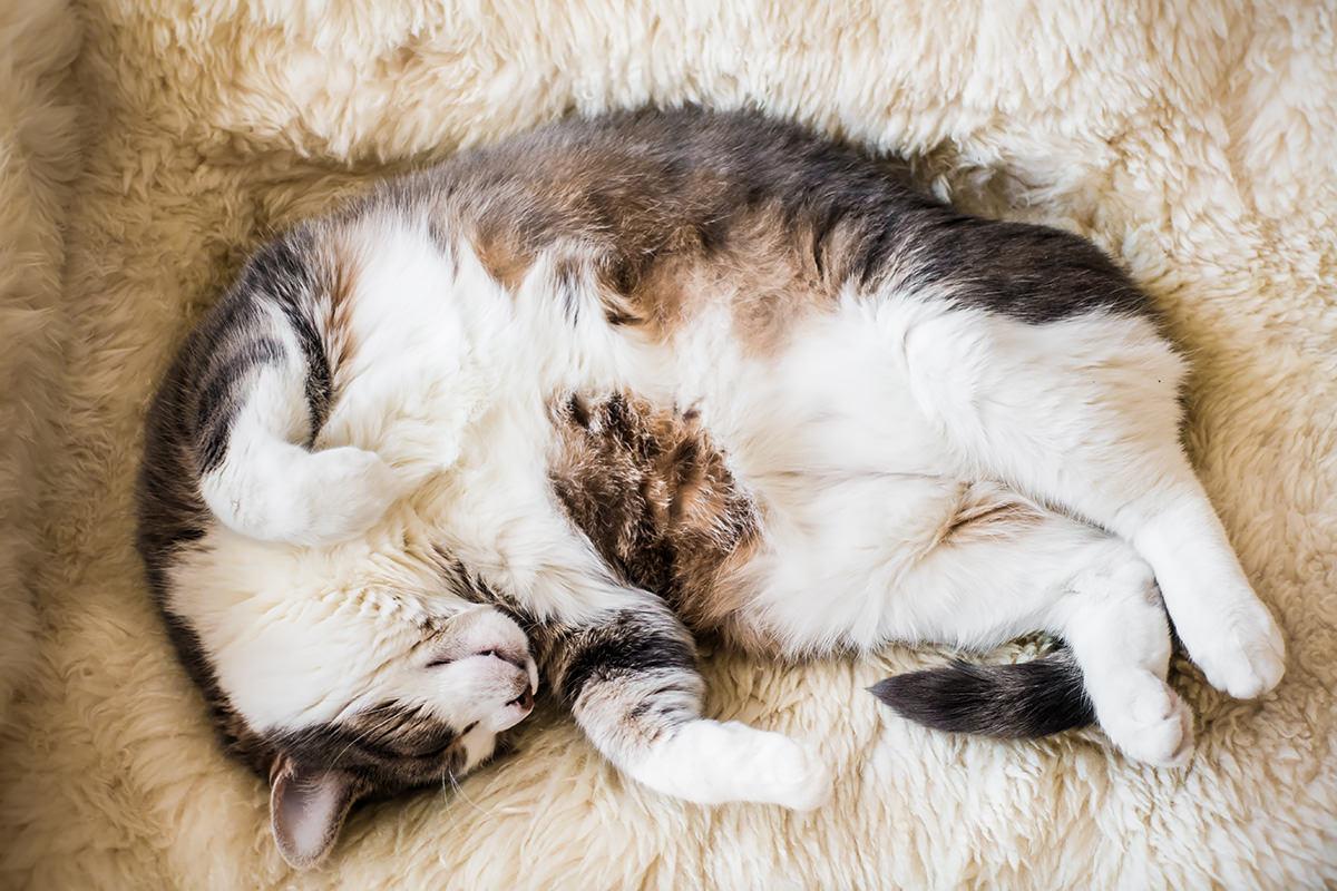 gatto dorme a pancia in su