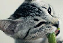 gatto mangia verdure