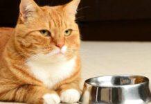 gatto bianco e arancione con ciotola di metallo