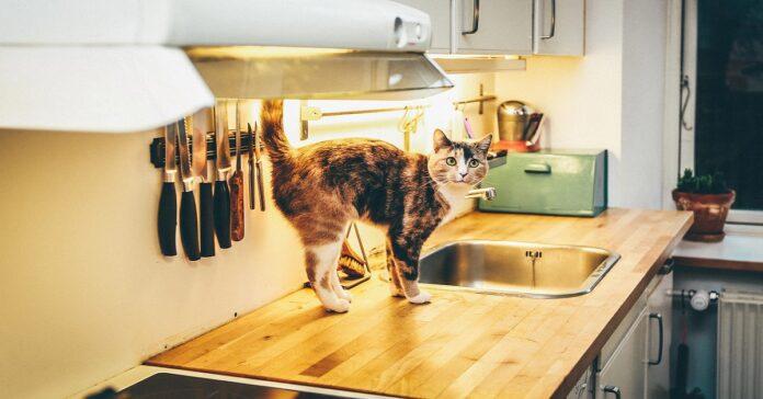 gatto in cucina