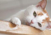 gatto bianco con le orecchie arancioni