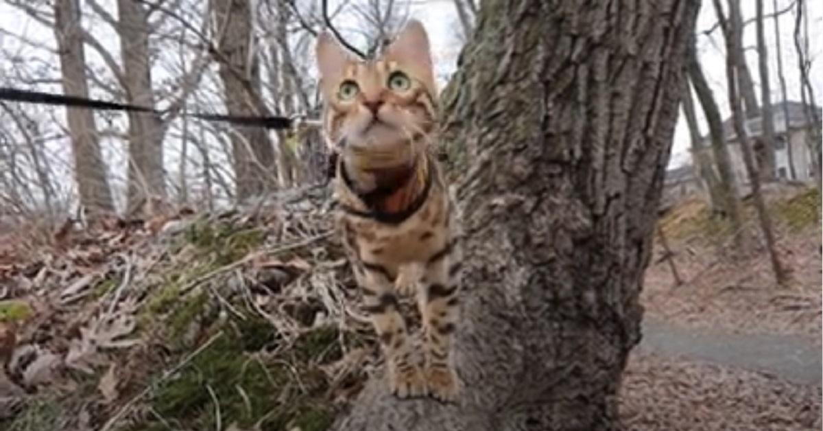 gattina del bengala fa una passeggiata in natura con il padrone