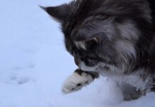 gattini Maine Coon per la prima volta sulla neve
