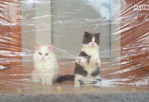 gattini Munchkin affrontano un muro invisibile