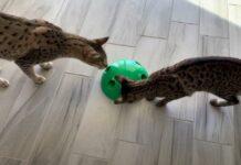 gattini Savannah si divertono con il loro nuovo giocattolo