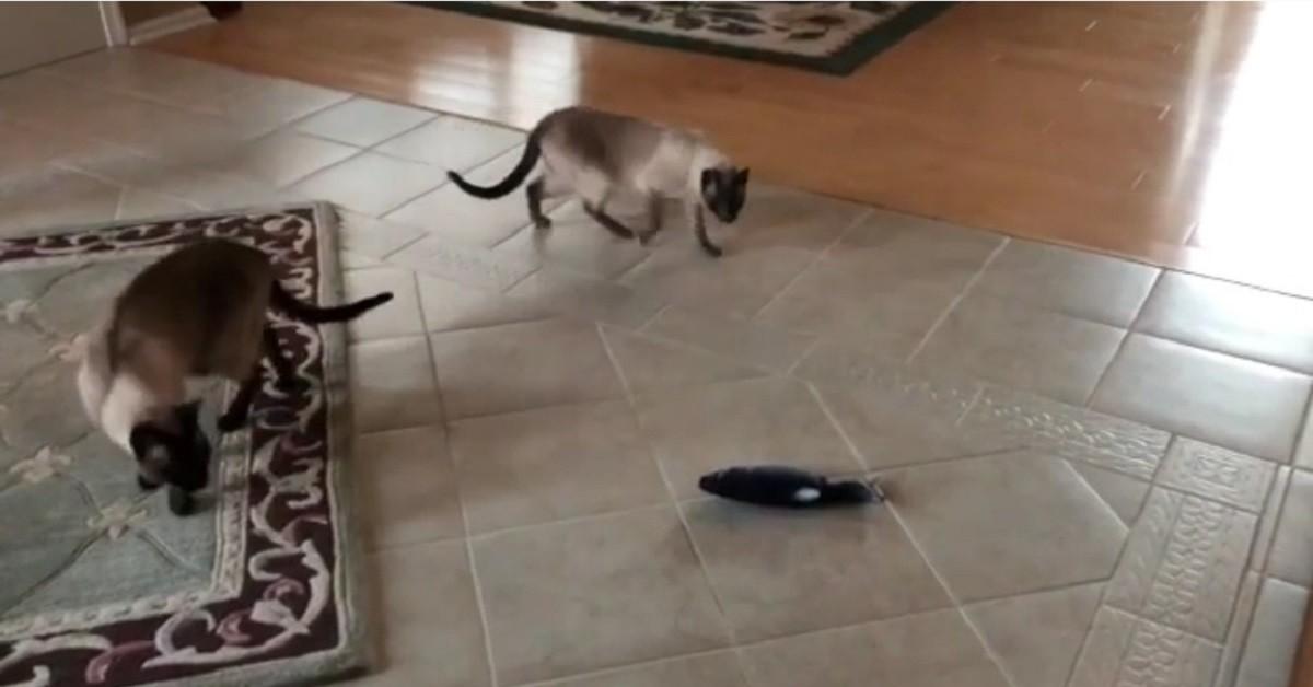 Gattini siamesi giocano con un peluche a forma di pesce