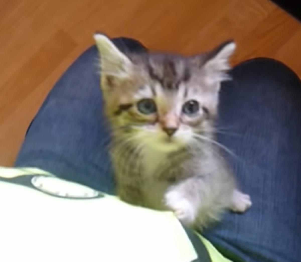 pepper gattina chiede cibo mamma