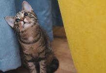 gattino celtico affamato come mai tutte richieste video