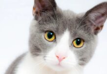 gattino europeo cerca di parlare non smetterete ridere dopo video
