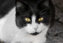 gattino europeo reagisce così quando viene accarezzato video