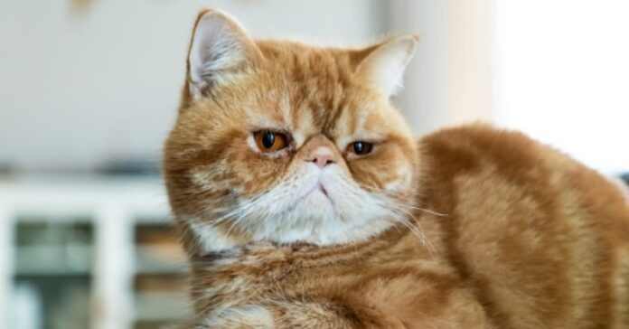 gattino exotic shorthair gioca cuscino video tenerezza