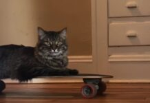 gattino maine coon adora lo skateboard video passione