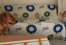 gattino minuscolo si spaventa del cucciolo di Golden Retriever