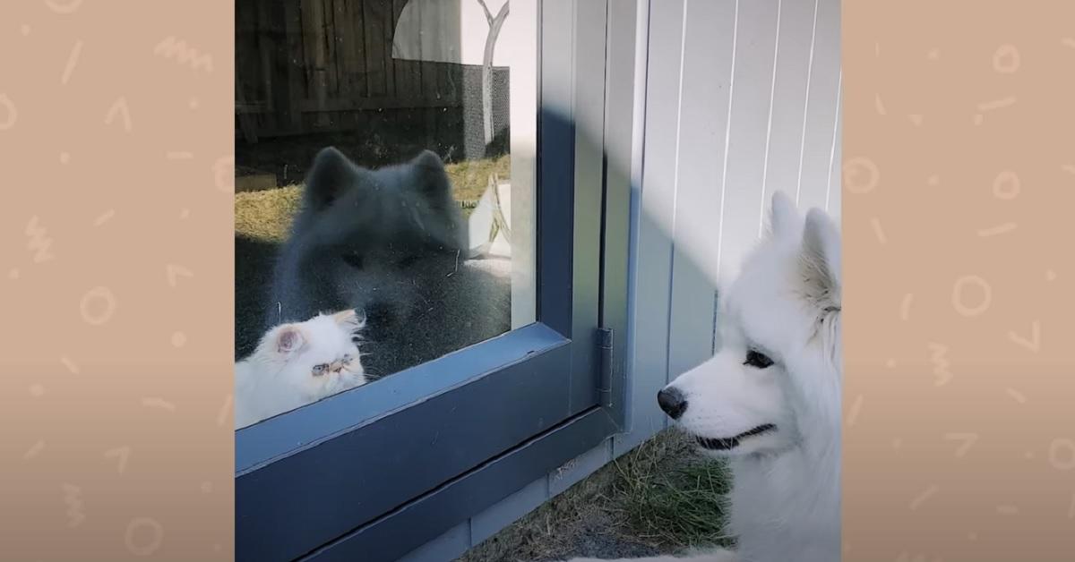 Gattino persiano scontroso fa amicizia con il cagnolino di casa
