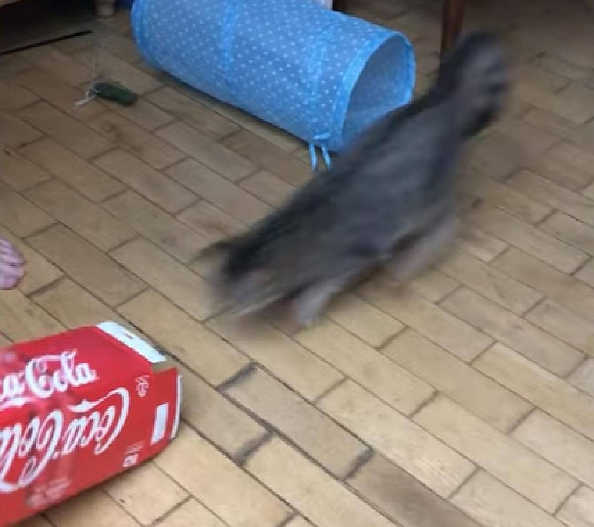 gattino soriano velocità assurda