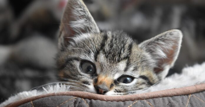 gattino soriano si sveglia con cibo sotto naso espressione video