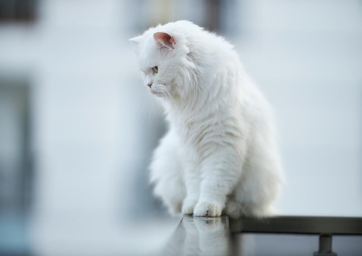 gatto pelo lungo bianco