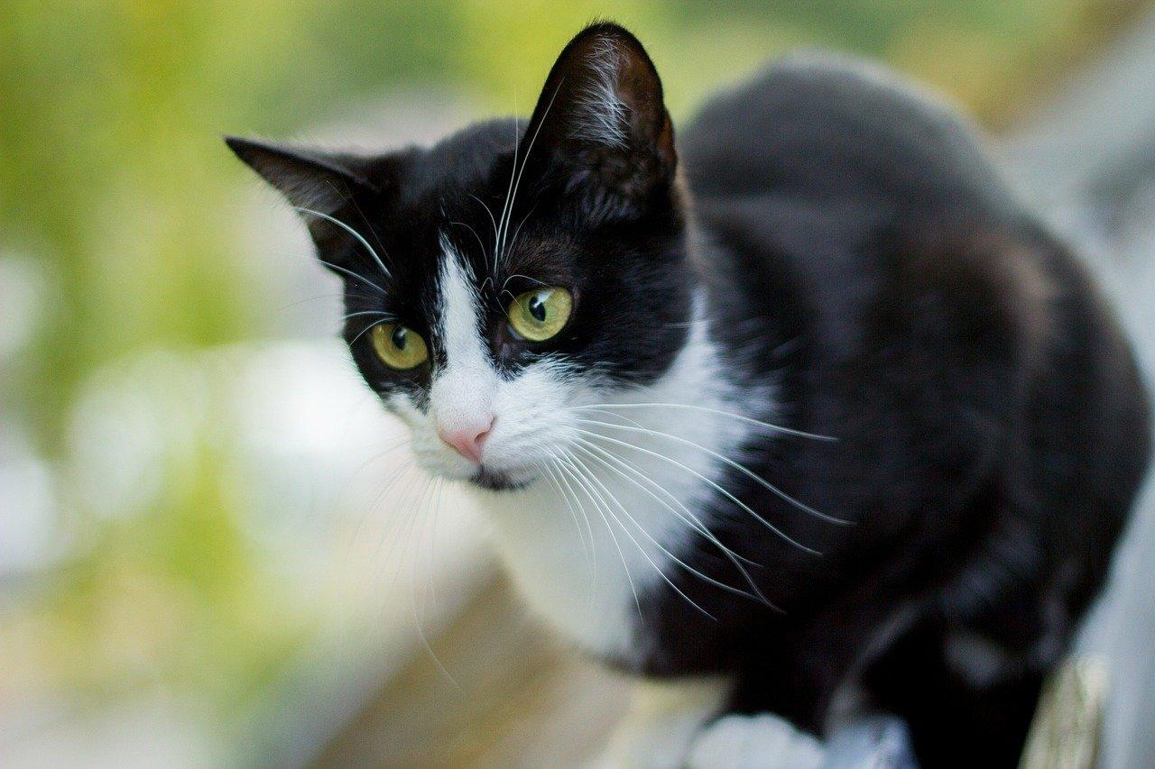 gatto occhi verdi