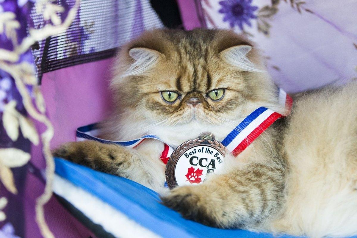 gatto persiano vince esposizione felina