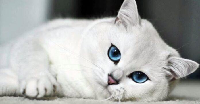 gatto bianco con gli occhi azzurri