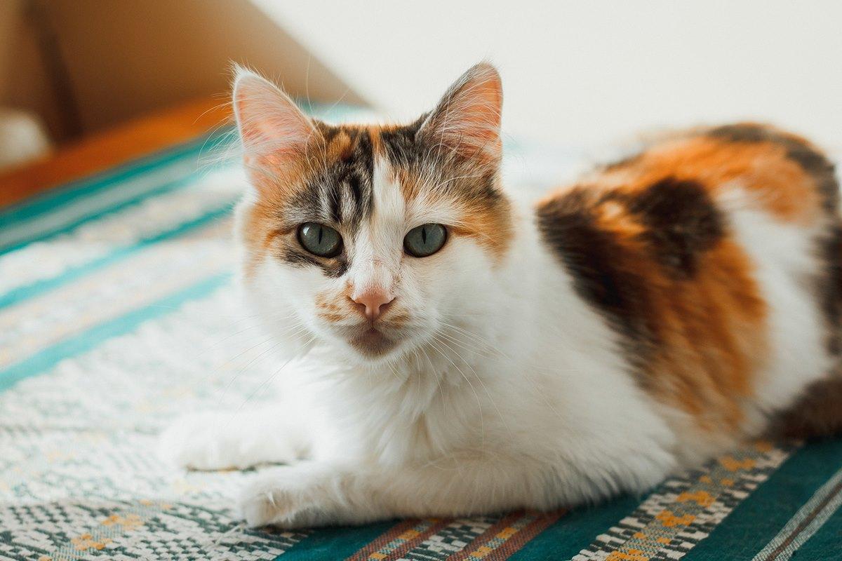 gatto calico