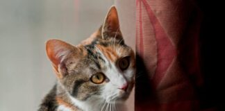 gatto con faccia colpevole