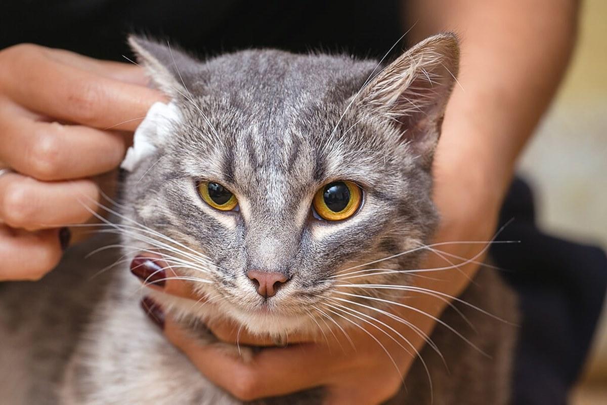 pulire le orecchie del gatto
