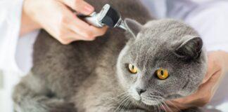 veterinario controlla le orecchie del gatto