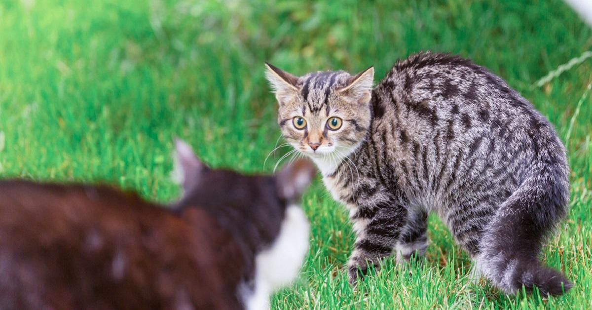 gatto aggressivo con altri gatti