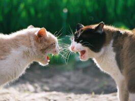 gatti litigano