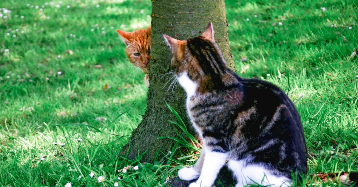 gatto dietro albero studia un suo rivale