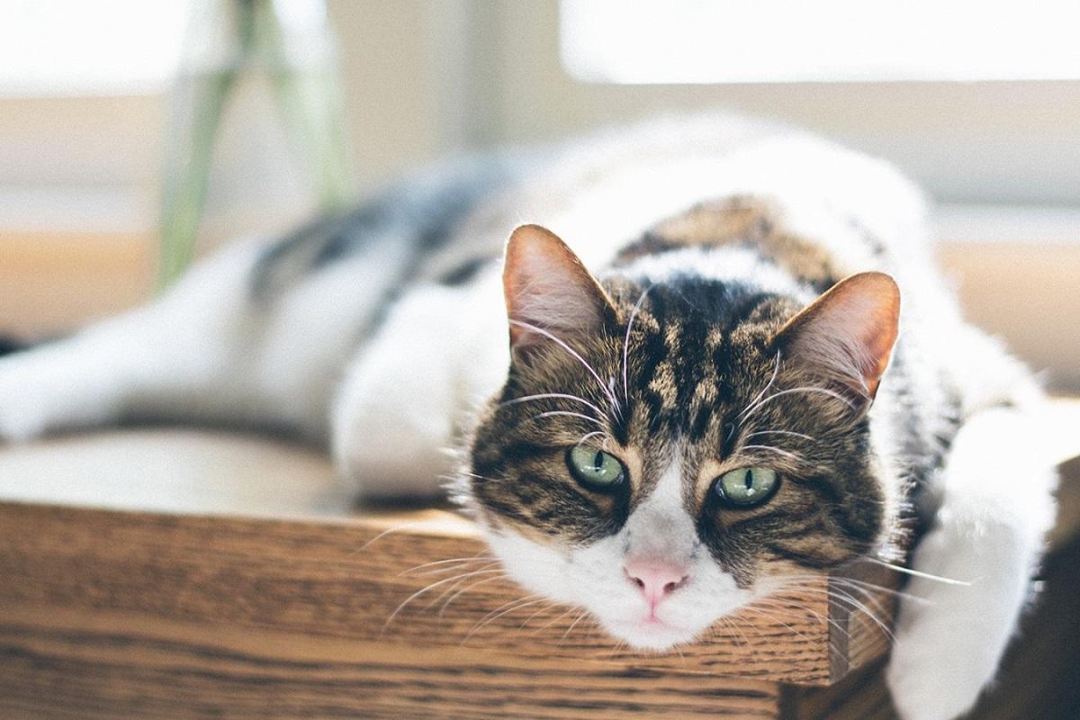 gatto a riposo