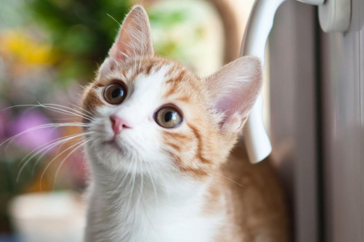 gattino bianco e arancione