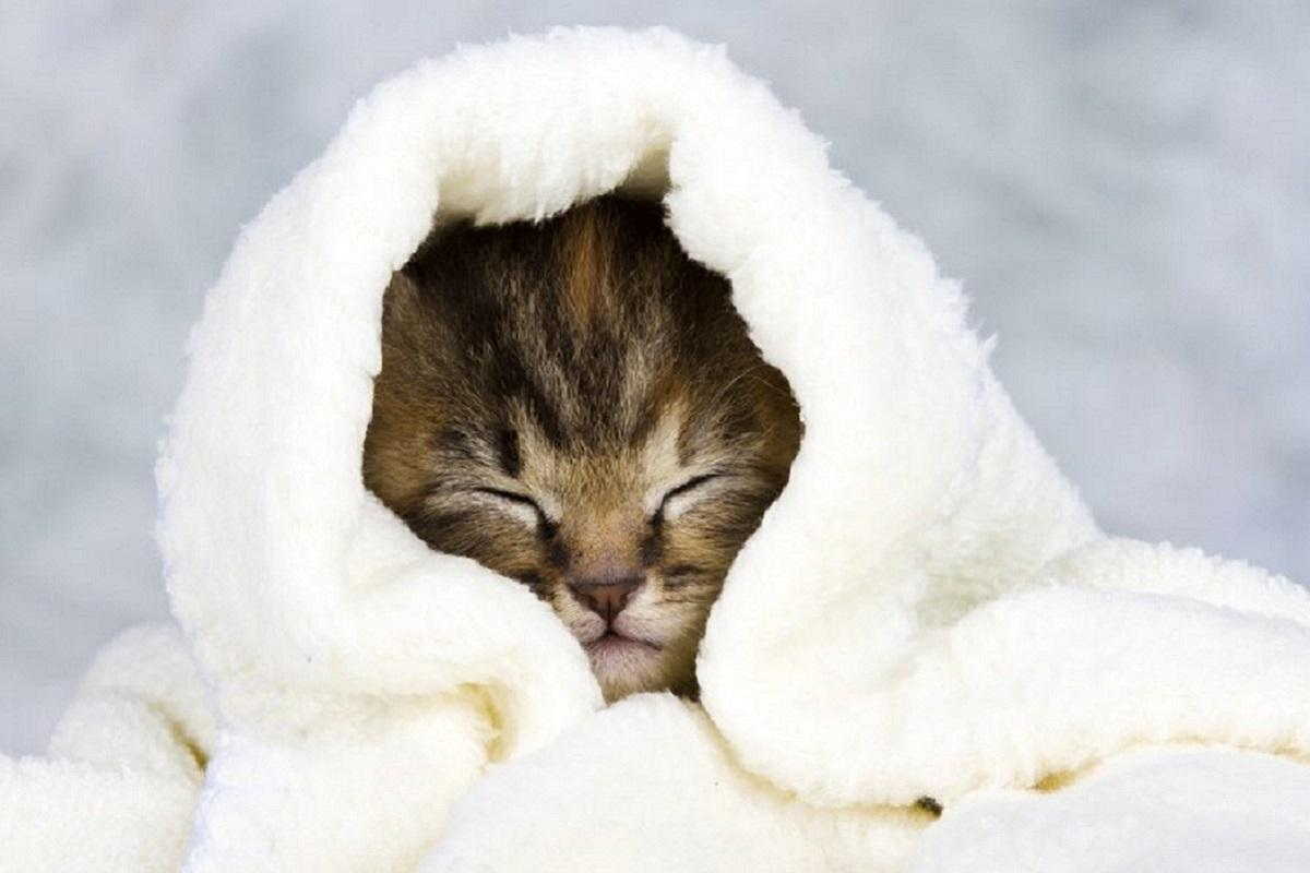 gattino coperto