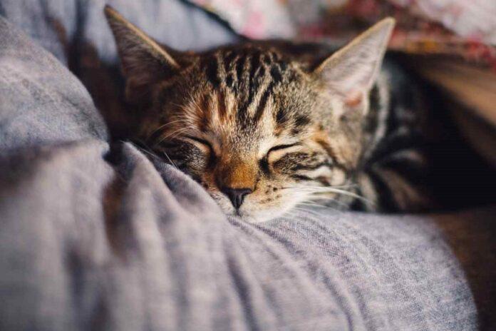 gattino che dorme su coperta