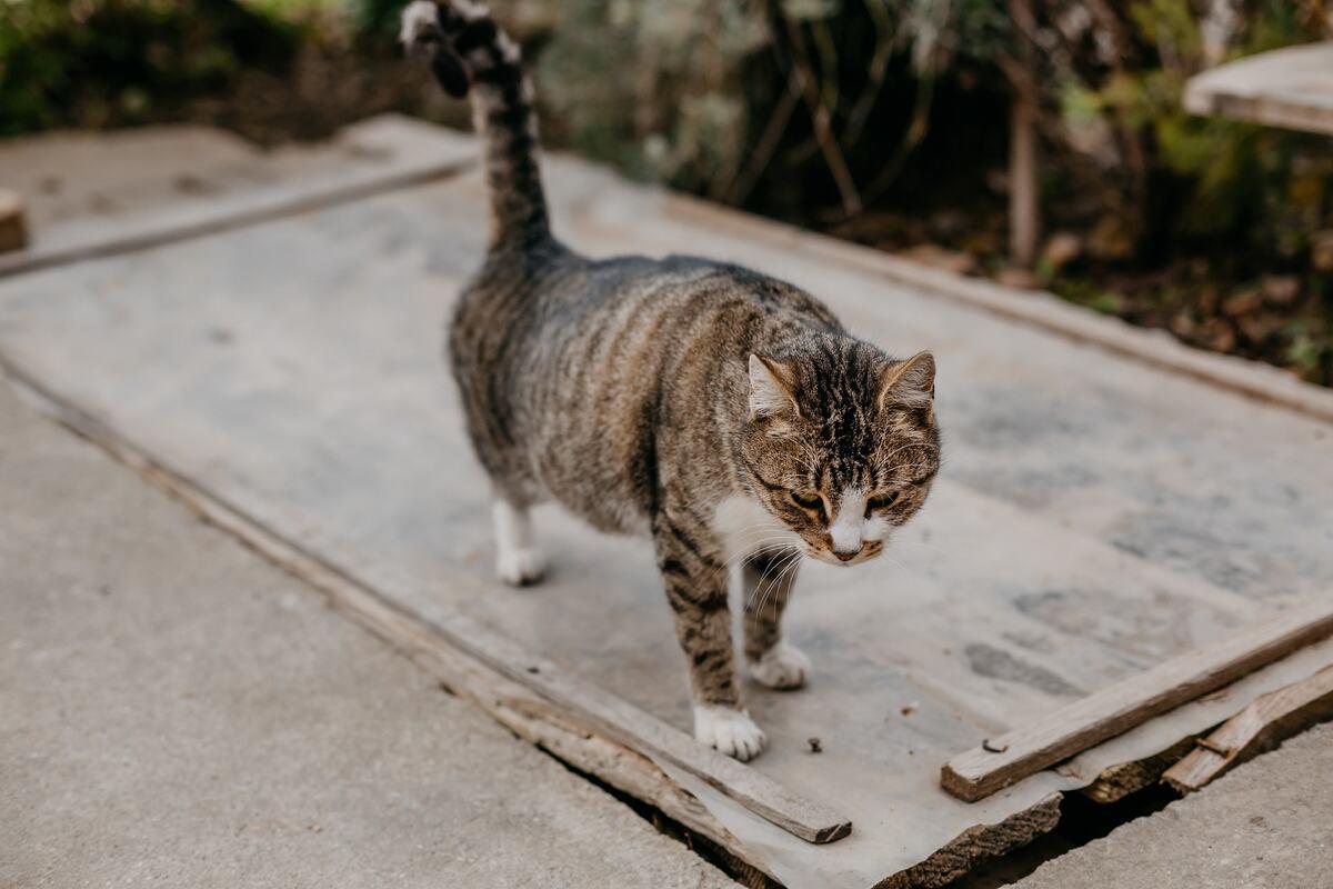 gatto sull'attenti
