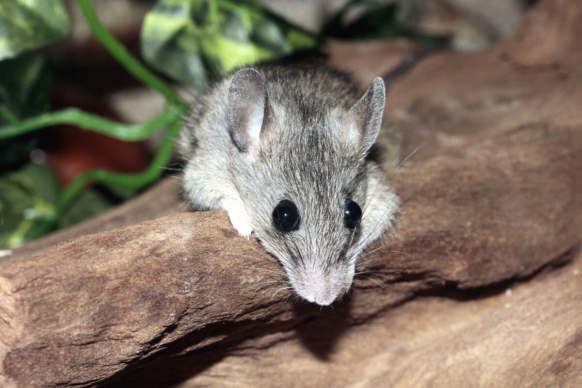topolino che osserva