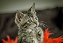 gatto magia reazione