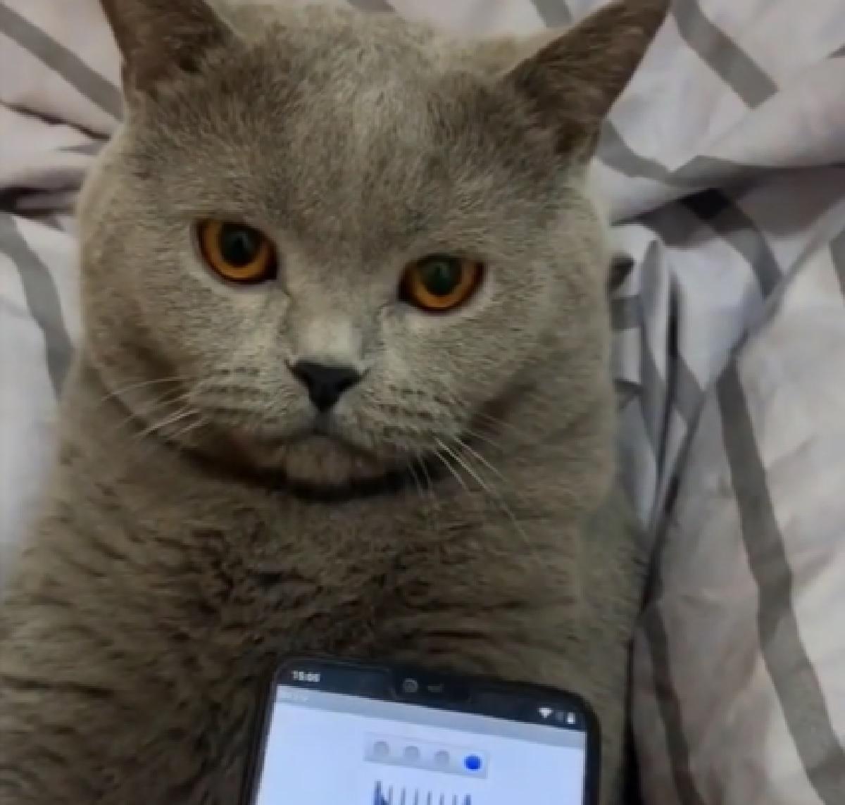gattino certosino telefono applicazione