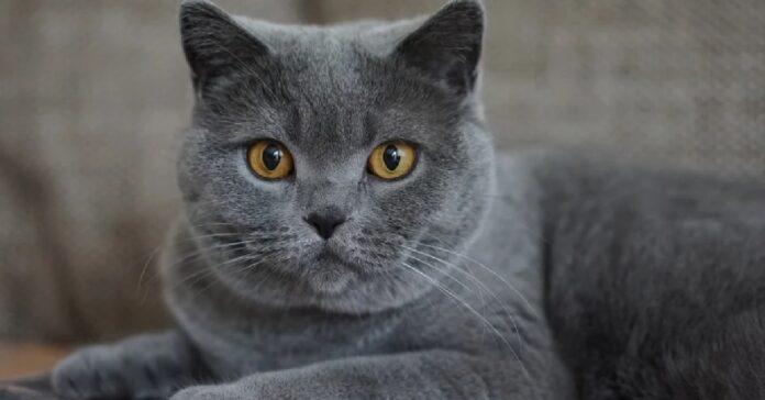 gattino certosino cade vittima dello scherzo papà video