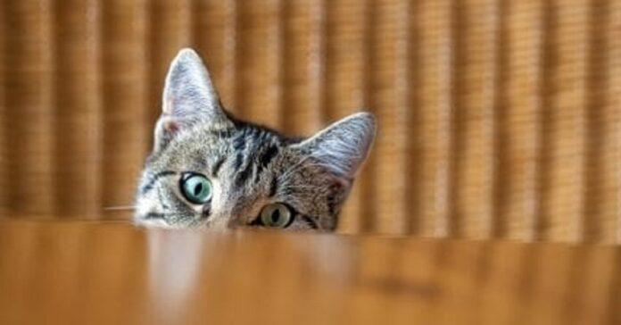 il gattino del bengala ruba la pizza dal piatto video sorridere