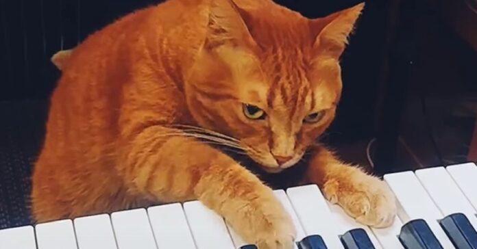 micio suonare il pianoforte