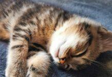 gattino microfono dorme