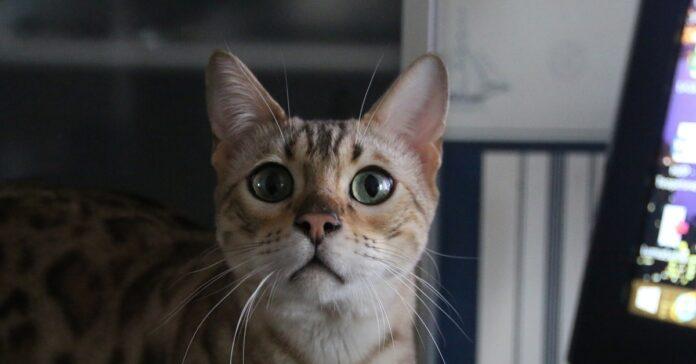gattino gioca a nascondino