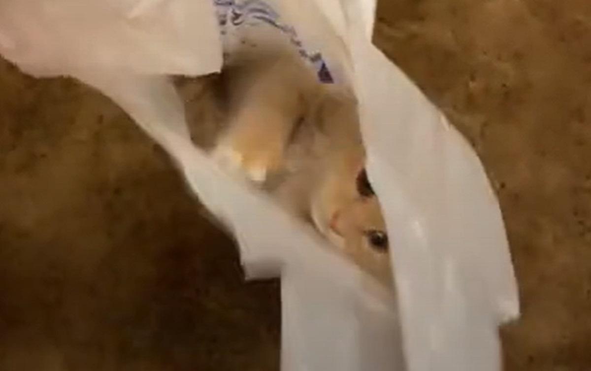 gatto busta diverte