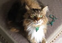 gattino maine coon canta insieme proprietaria video