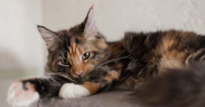 gattino maine coon si coccola con migliore amico tenerezza video