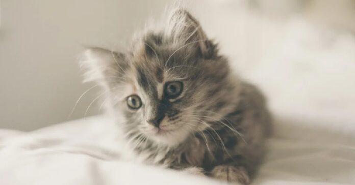 gattino soriano gioca ombelico papà curiosità video